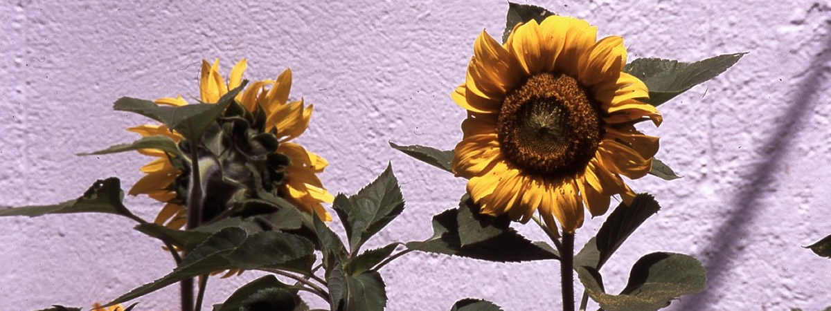 Saulaine Sunflowers